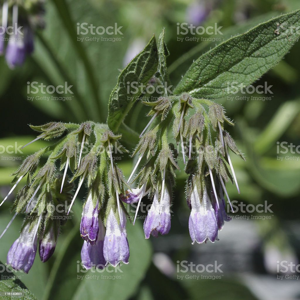 comfrey, Symphytum officinale, flowers and leaves stock photo