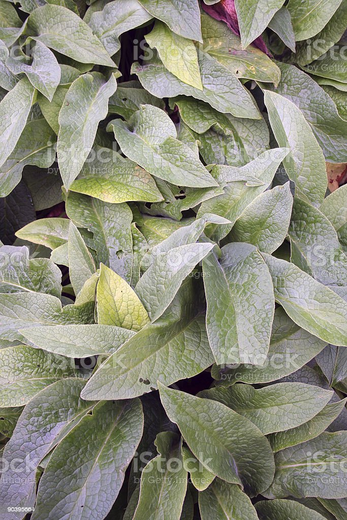 Comfrey - Symphytum officinale L. stock photo
