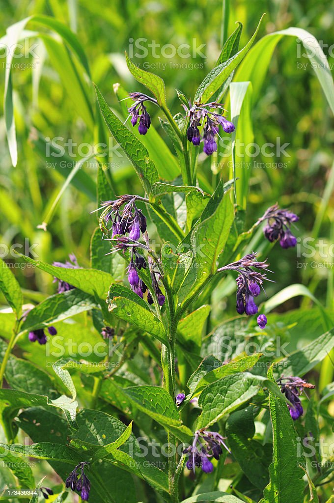 Comfrey (Symphytum officinale) - Echte Beinwell stock photo