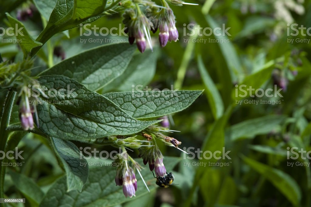 comfrey with bee stock photo