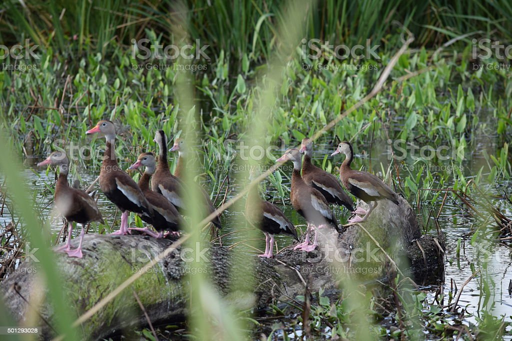 Comical Black-Bellied Whistling-Duck at Wetlands stock photo