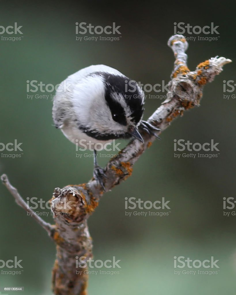 A comical Chickadee straddles a branch looking for food. stock photo