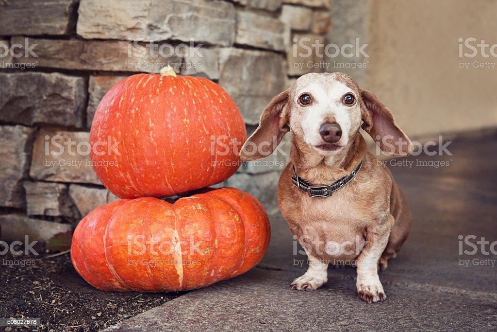 Comical Senior Dachshund Sitting Next to Pumpkins stock photo