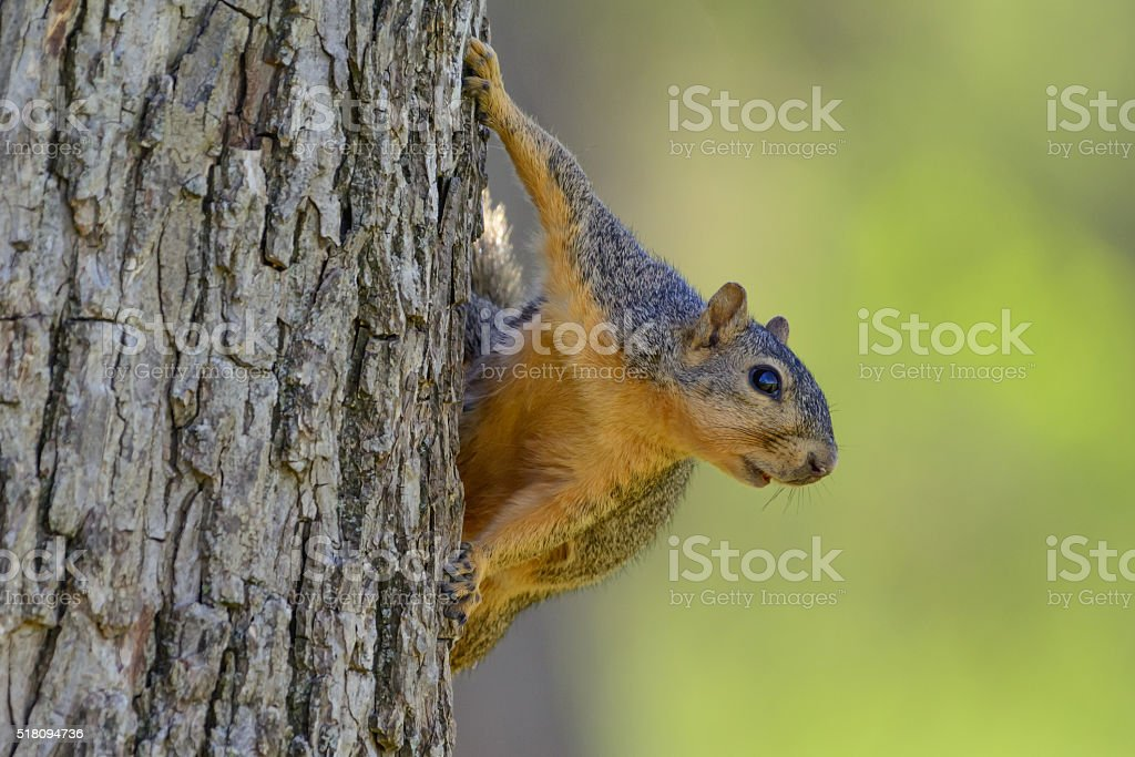 Comical Squirrel Hanging on side of tree Green Background stock photo