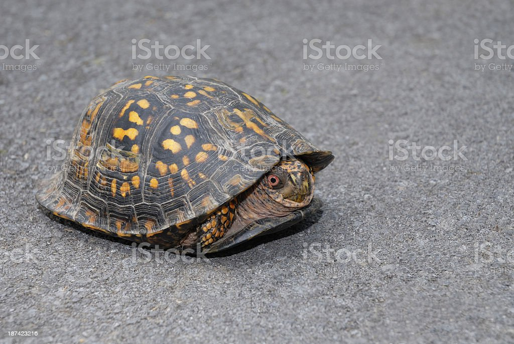 Coming out of your shell. A box turtle (Terrapene carolina). royalty-free stock photo
