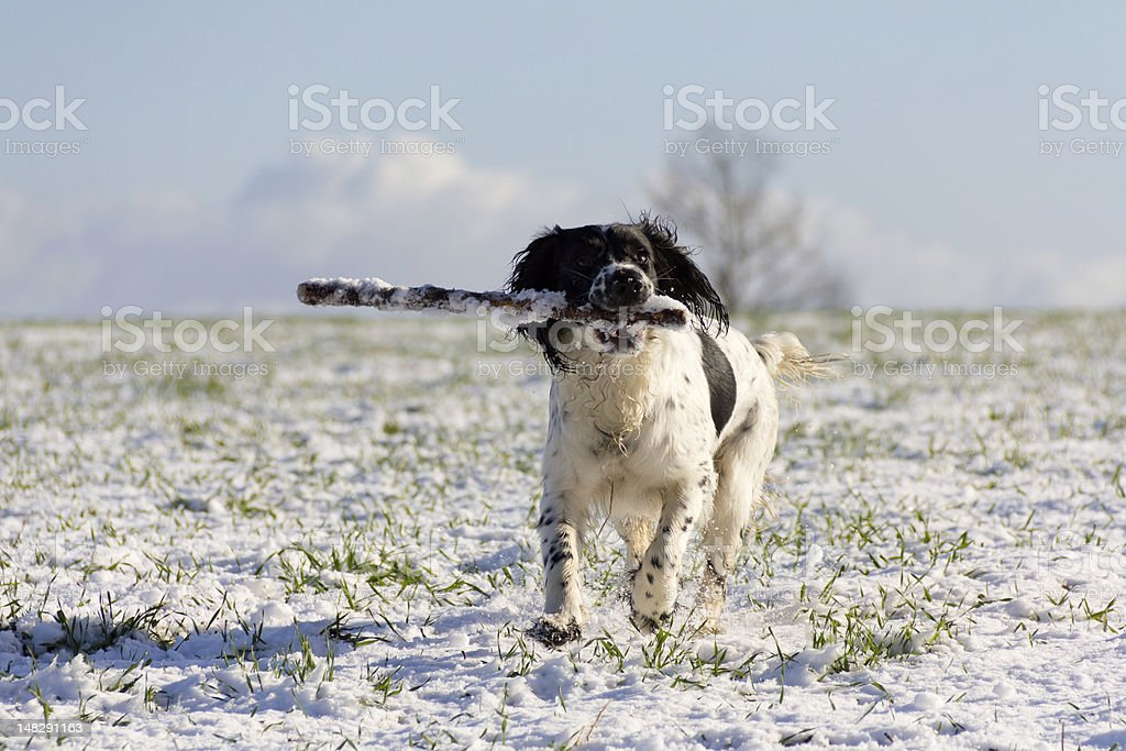 Coming! puppy retrieves stick from snow. royalty-free stock photo