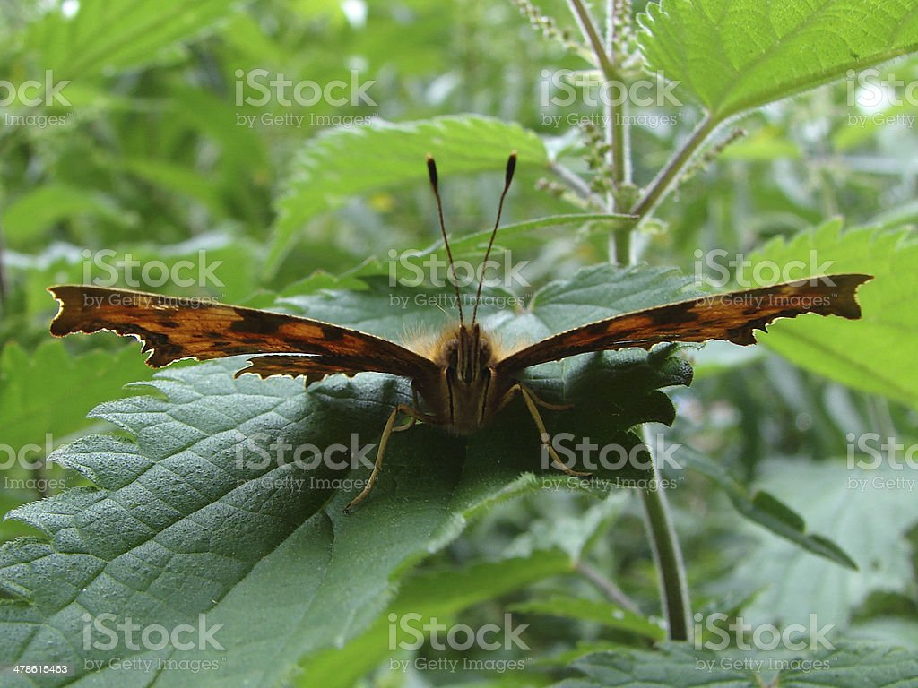 Comma Butterfly facing camera royalty-free stock photo