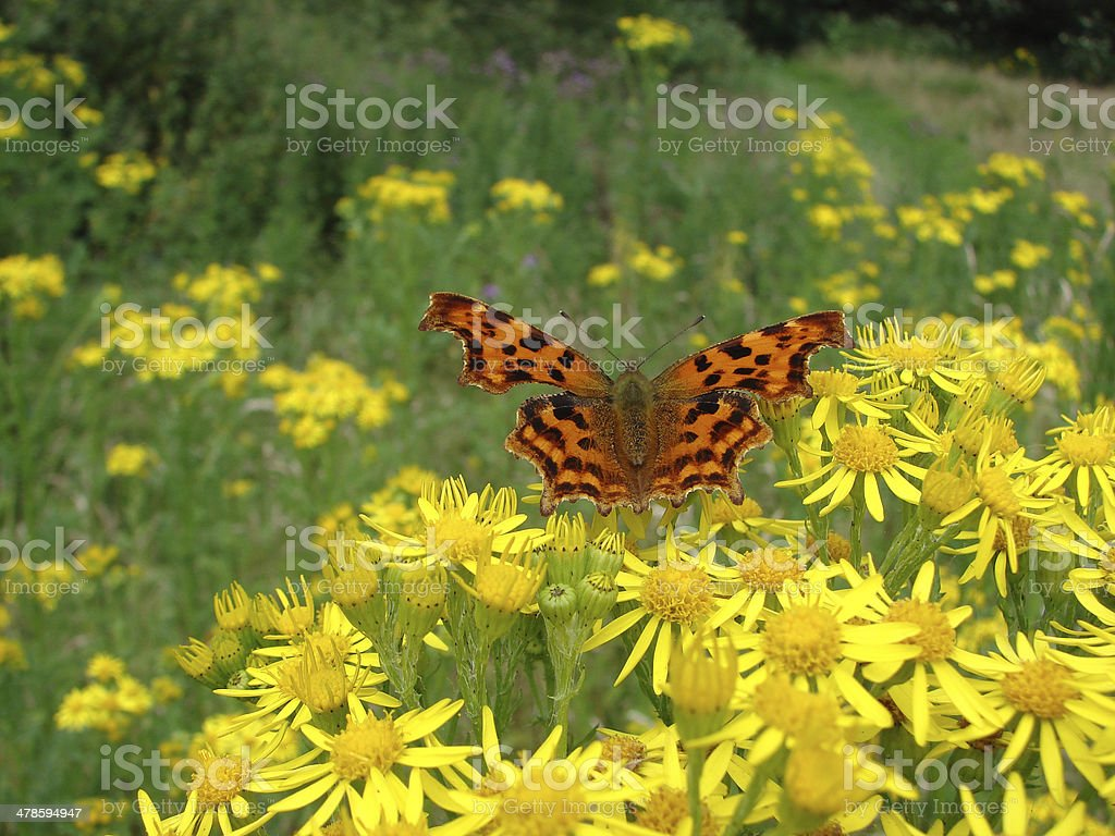 Comma Butterfly on Ragwort royalty-free stock photo
