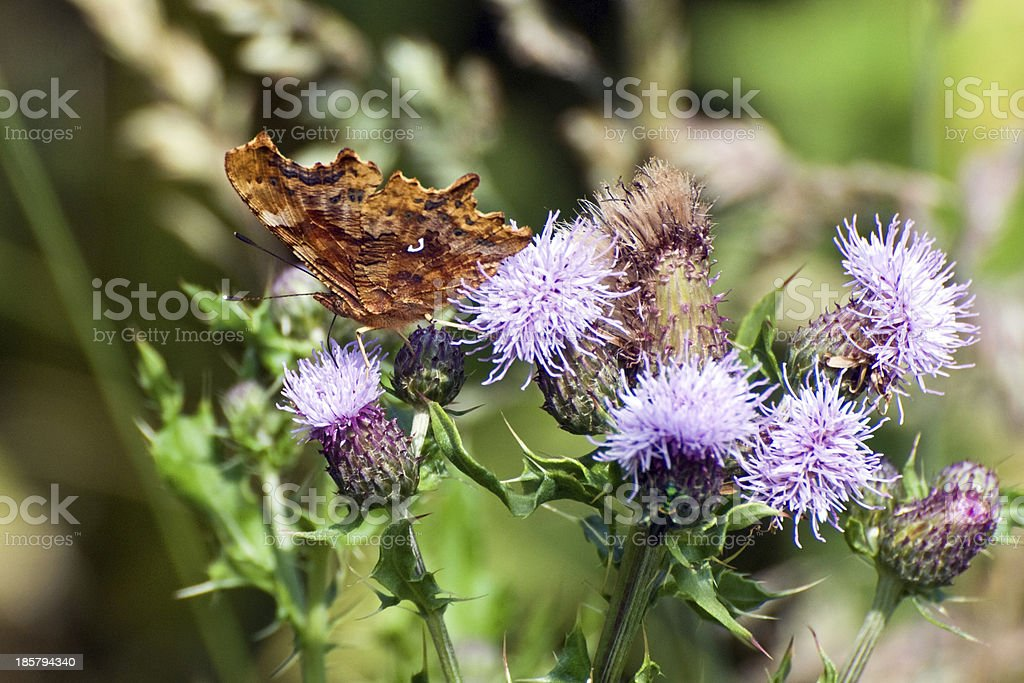 Comma butterfly (Polygonia c-album) stock photo