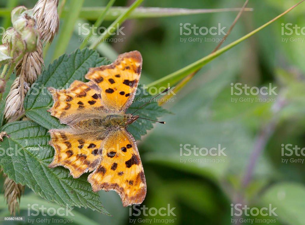 Comma Butterfly (Polygonia c-album) stock photo