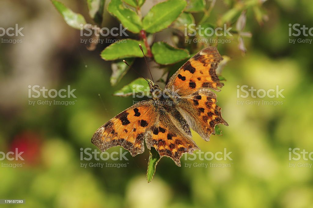 Comma Butterfly, U.K. royalty-free stock photo