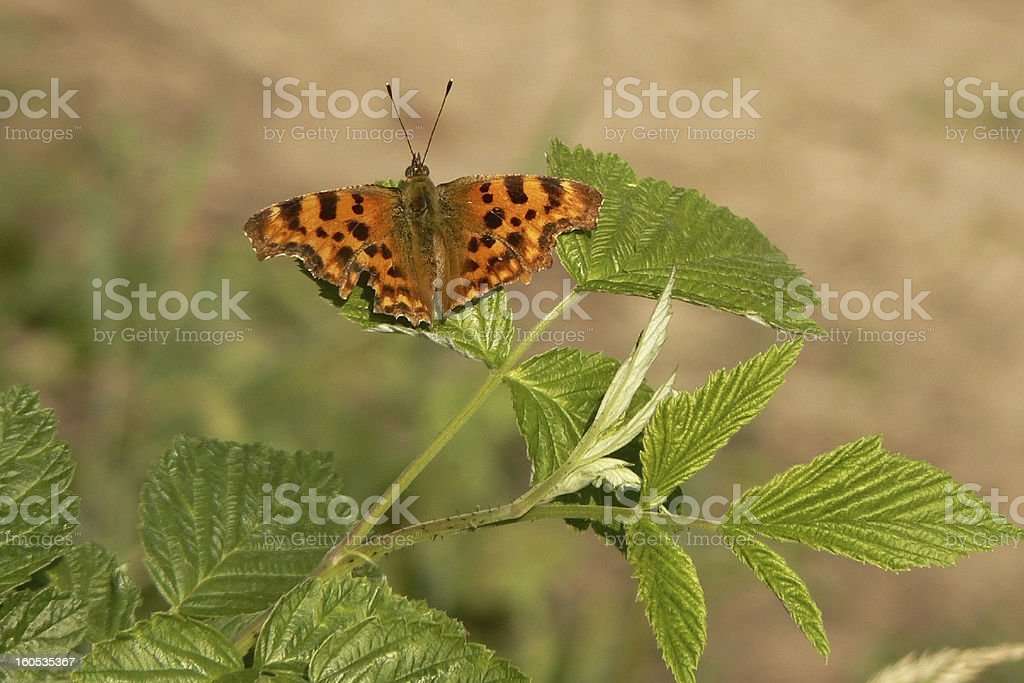 Comma (Polygonia C - album) royalty-free stock photo