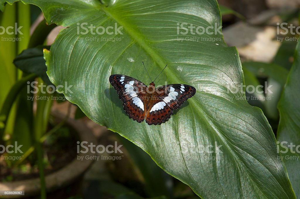 Commander Butterfly (Moduza procris) In Malaysia stock photo
