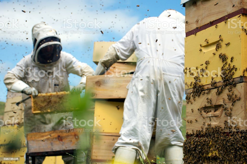Commercial Apiarists at Work stock photo