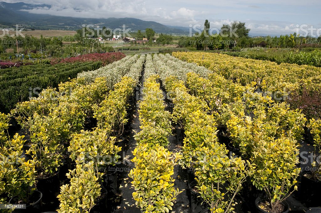Commercial Nursery on the West Coast Growing Rows of Shrubs royalty-free stock photo