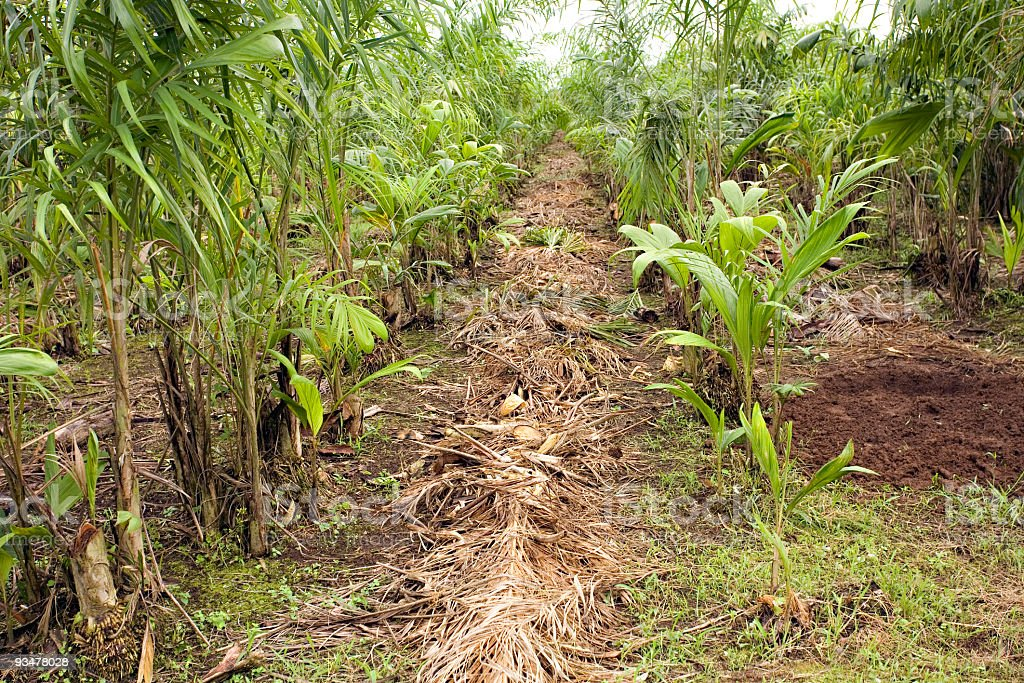 Commercial plantation of palm heart stock photo