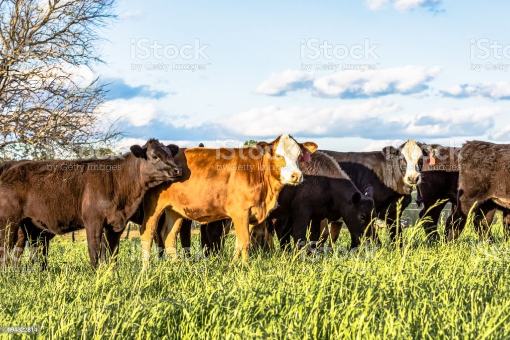 Commerical crossbred heifers in ryegrass stock photo