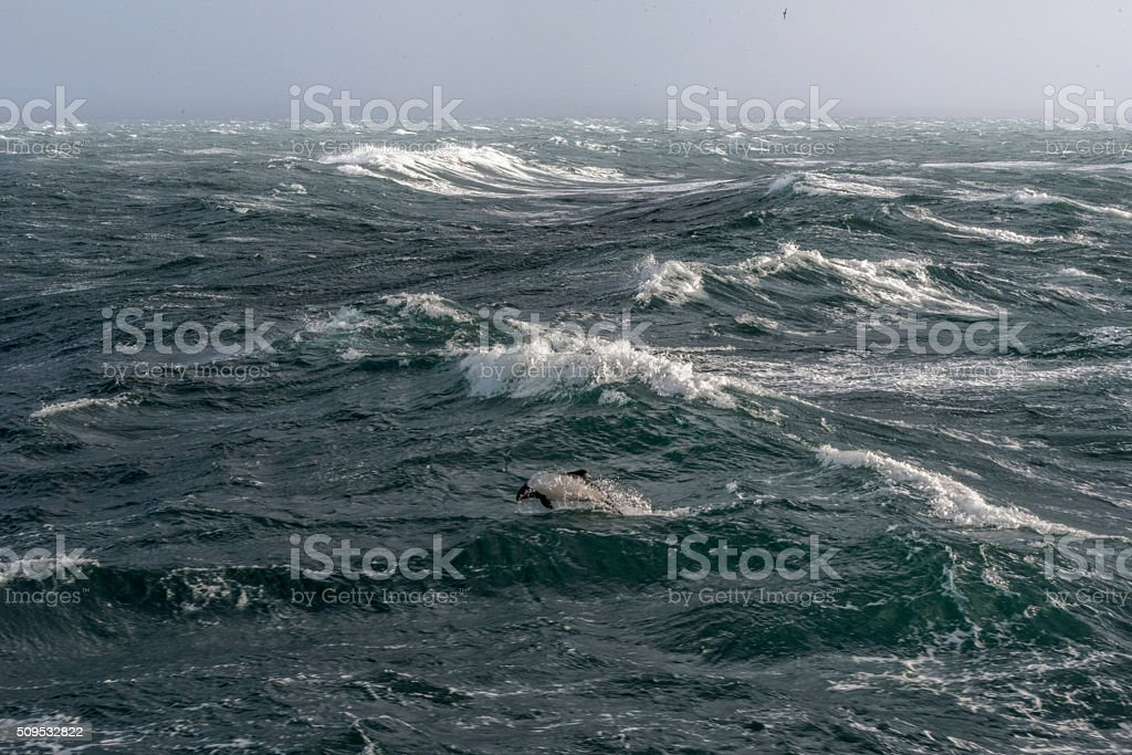 Commerson Dolphin in the Rough Southern Ocean stock photo