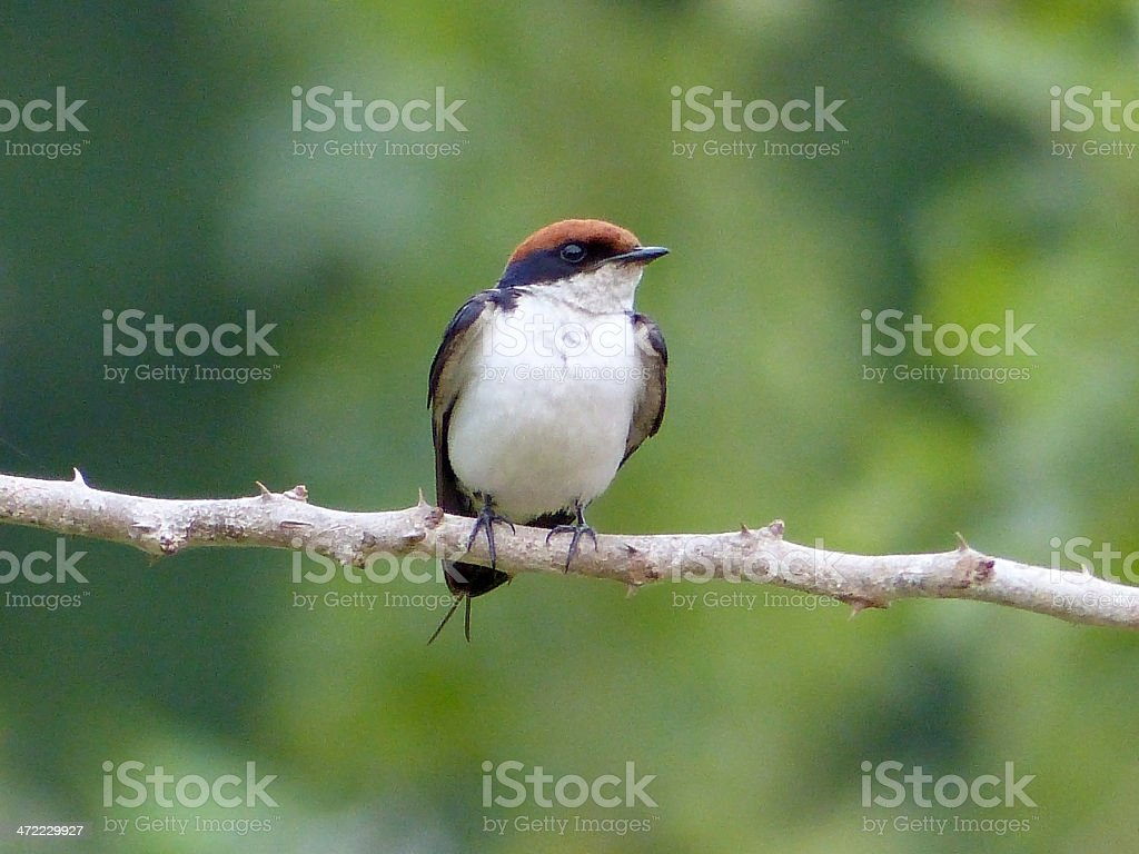 Common 'African' stonechat stock photo