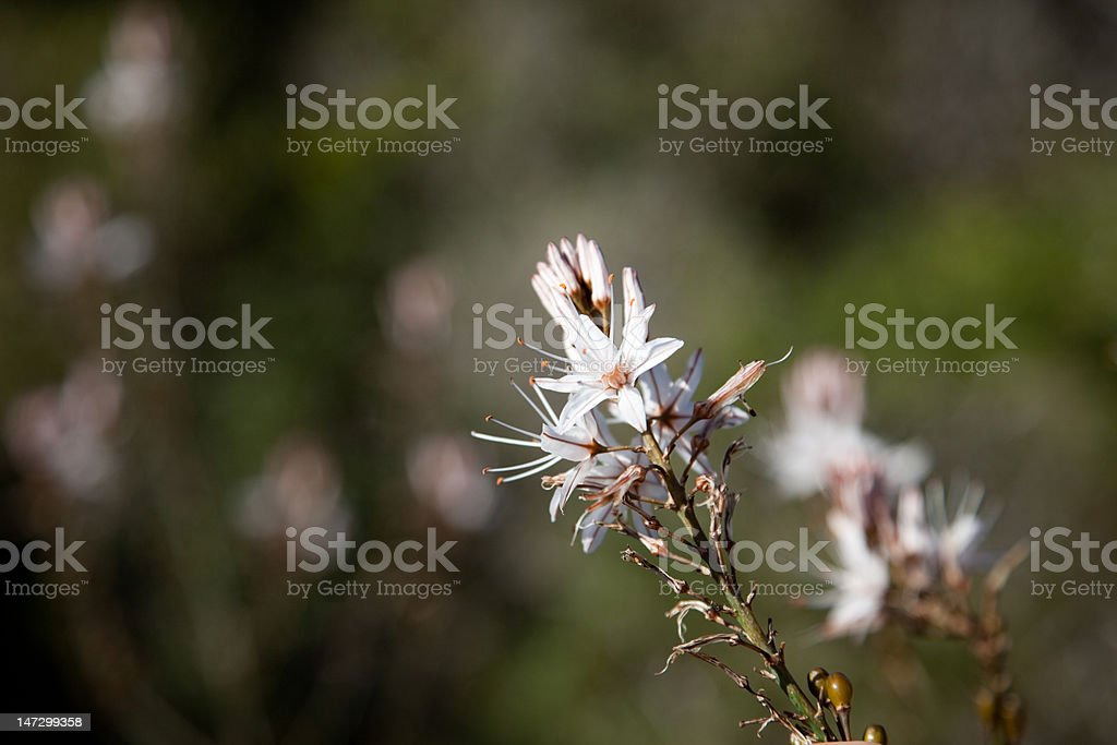 Common Asphodel royalty-free stock photo