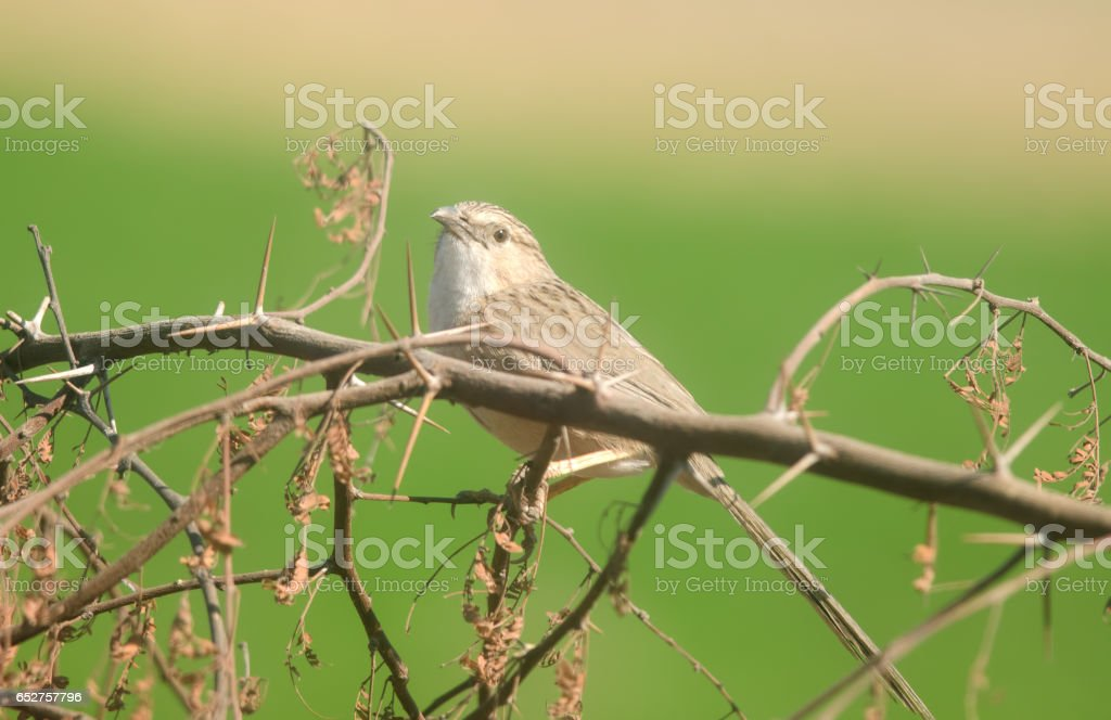 Common Babbler stock photo