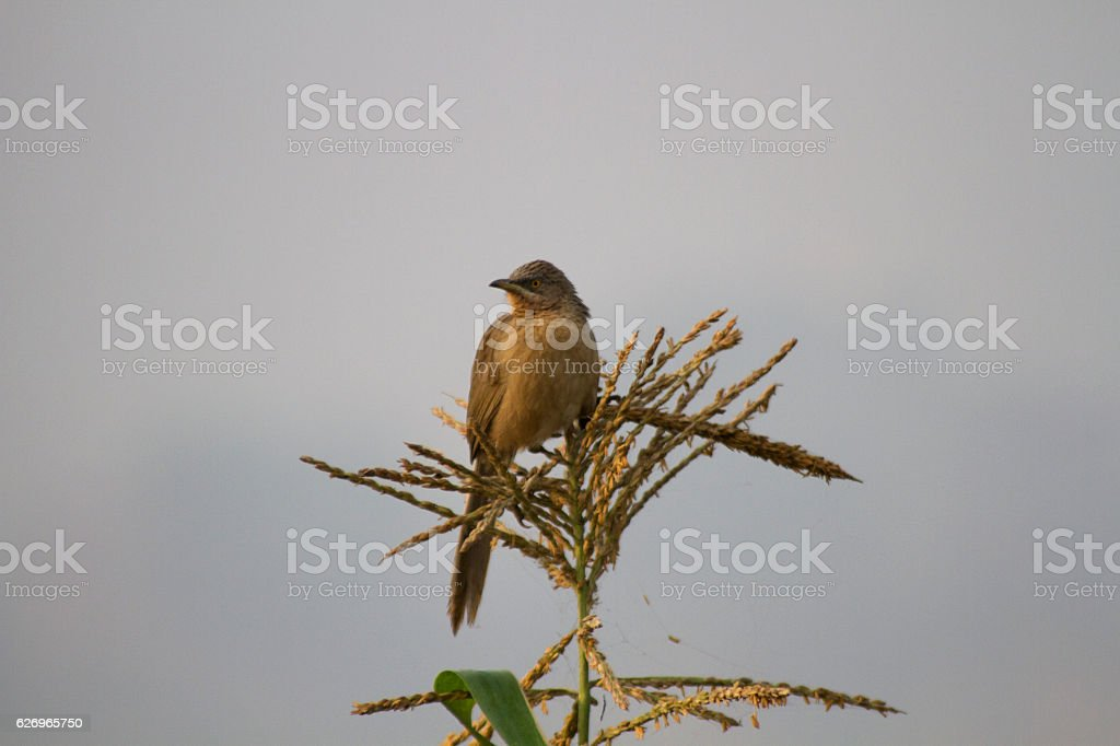 Common babler resting stock photo