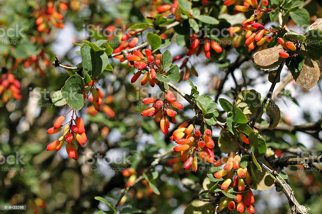 Common barberry (Berberis vulgaris) is particularly decorative in autumn stock photo