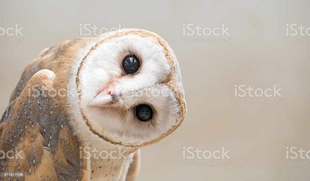 common barn owl ( Tyto albahead ) close up stock photo