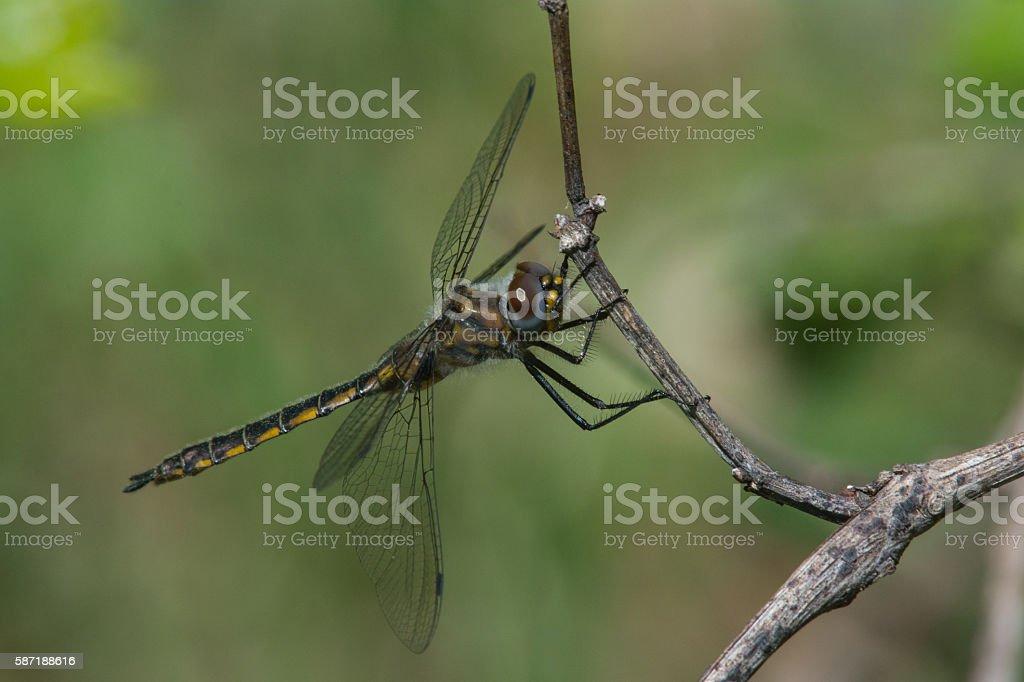 Common Baskettail Dragonfly, Epitheca cynosura stock photo
