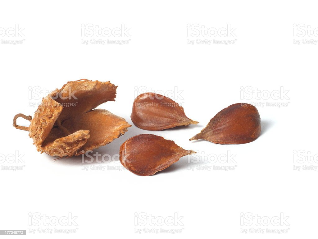 Common Beech Nuts stock photo
