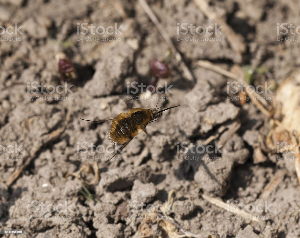 Common Bee-Fly in Flight stock photo