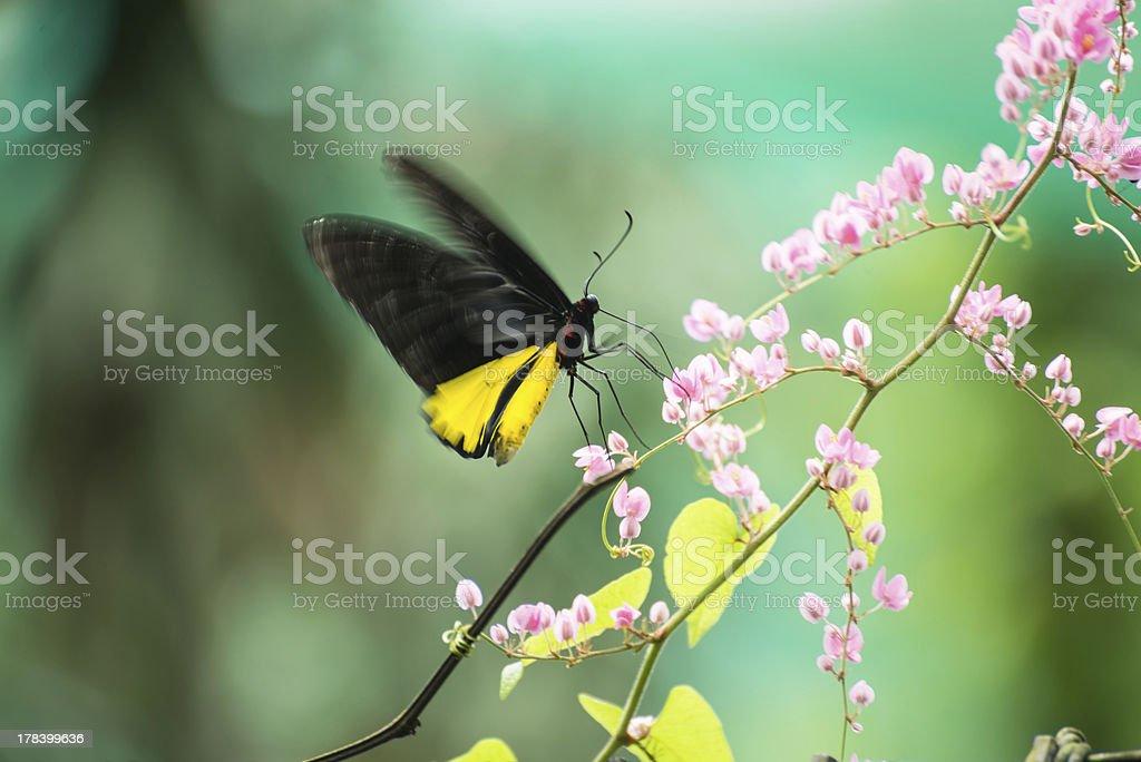 Common birdwing butterfly feeding on Honolulu Creeper flowers stock photo