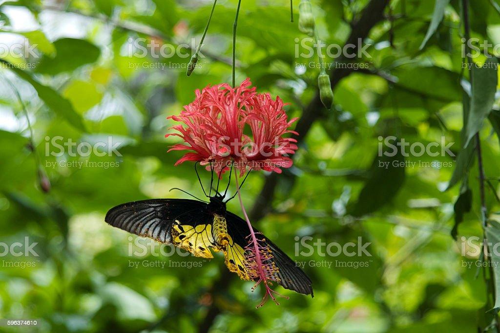 Common Birdwing Butterfly stock photo