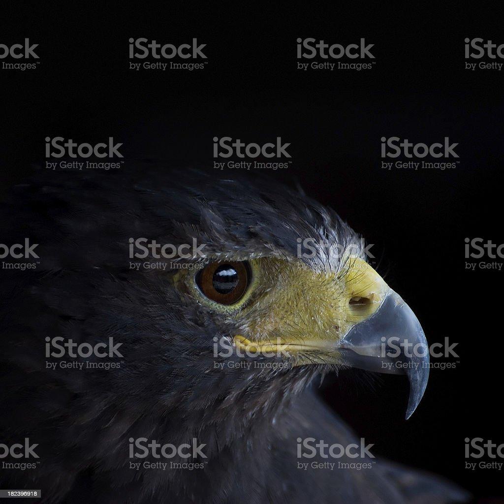 Common Black Hawk stock photo