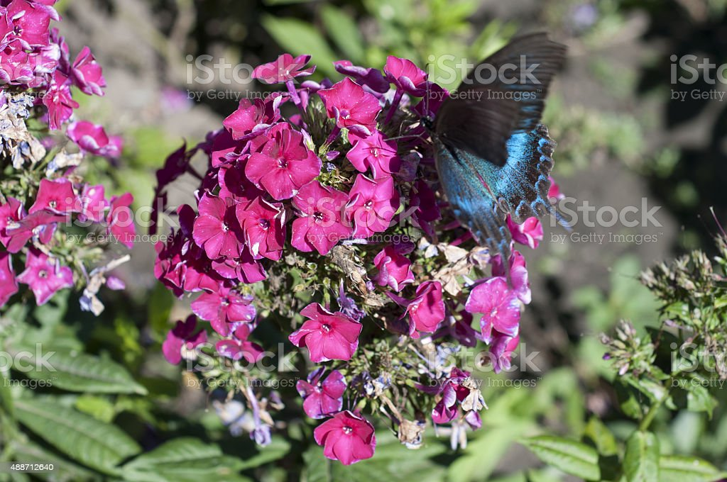Common black swallowtail butterfly stock photo