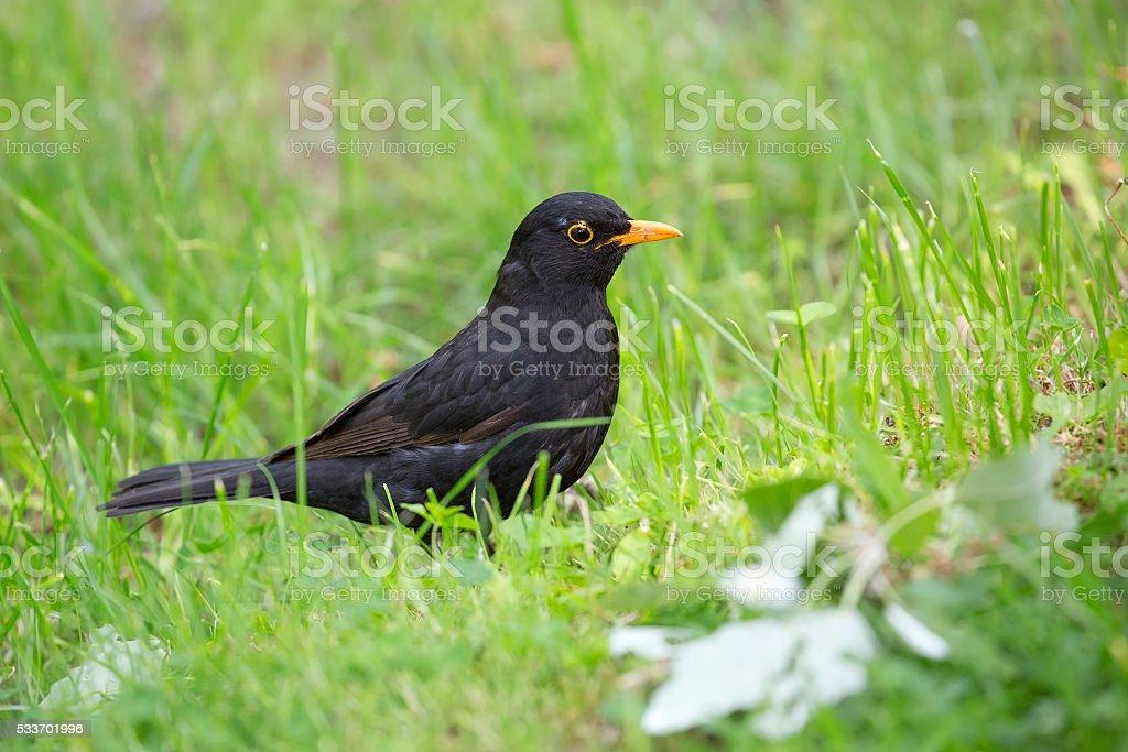 Common Blackbird in the wild stock photo