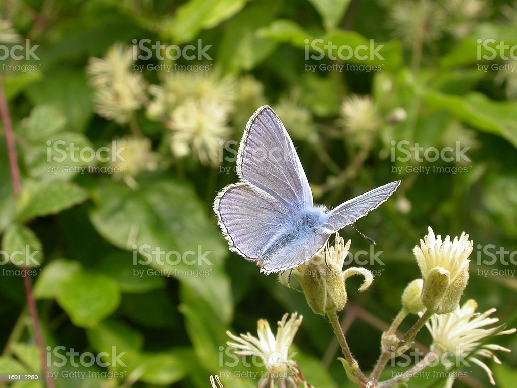 Common Blue Butterfly 02 stock photo