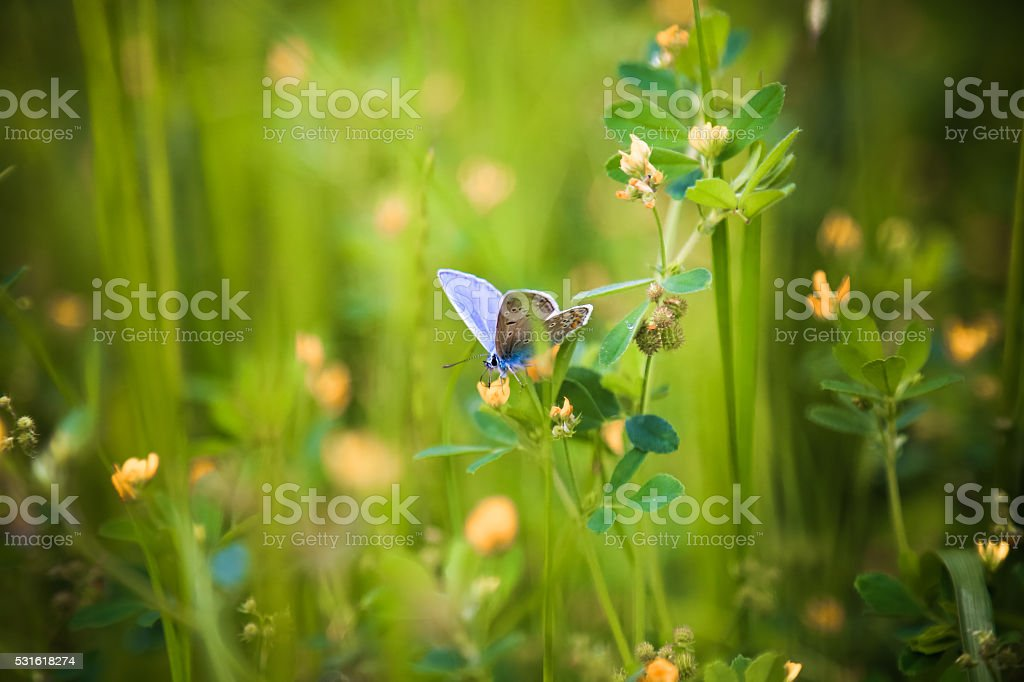 Common Blue Butterfly (Polyommatus icarus) nectaring on wildflower stock photo