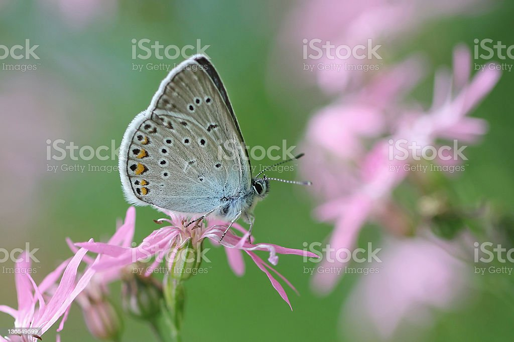 Common Blue butterfly - polyommatus icarus stock photo