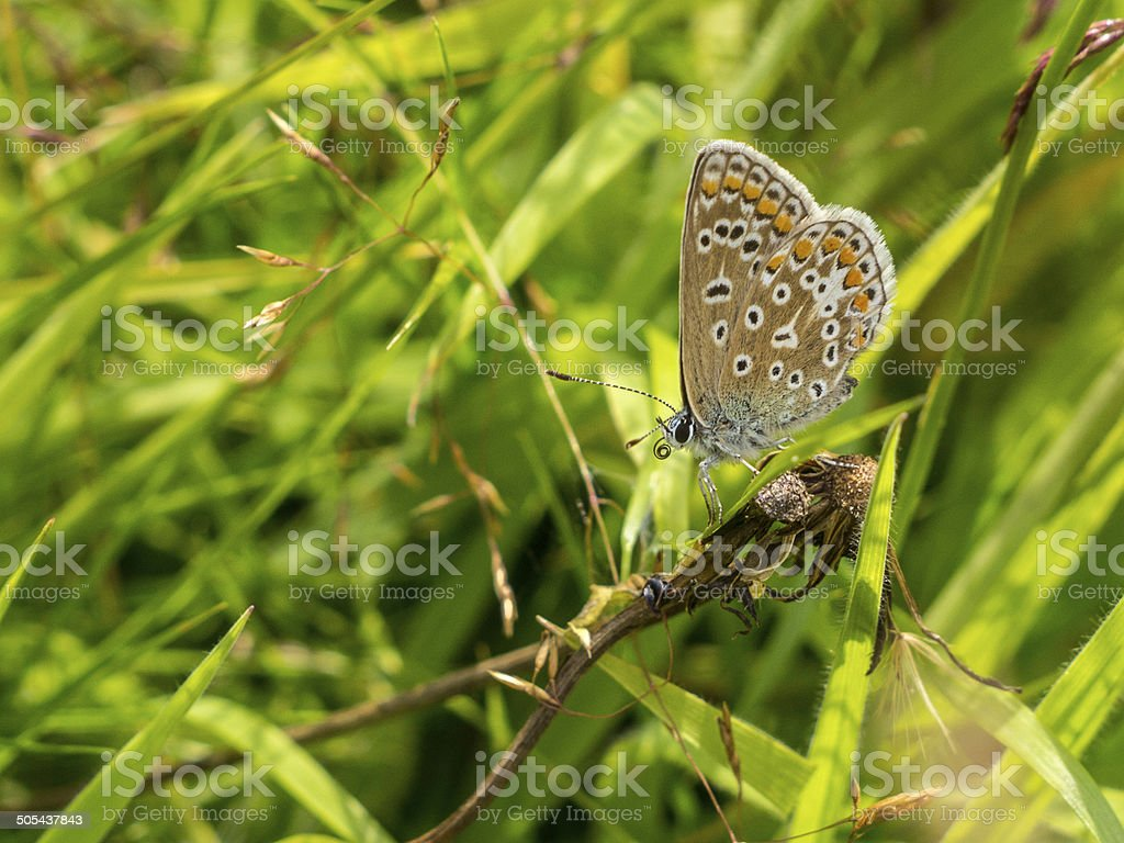 Common Blue Butterfly - Polyommatus icarus royalty-free stock photo