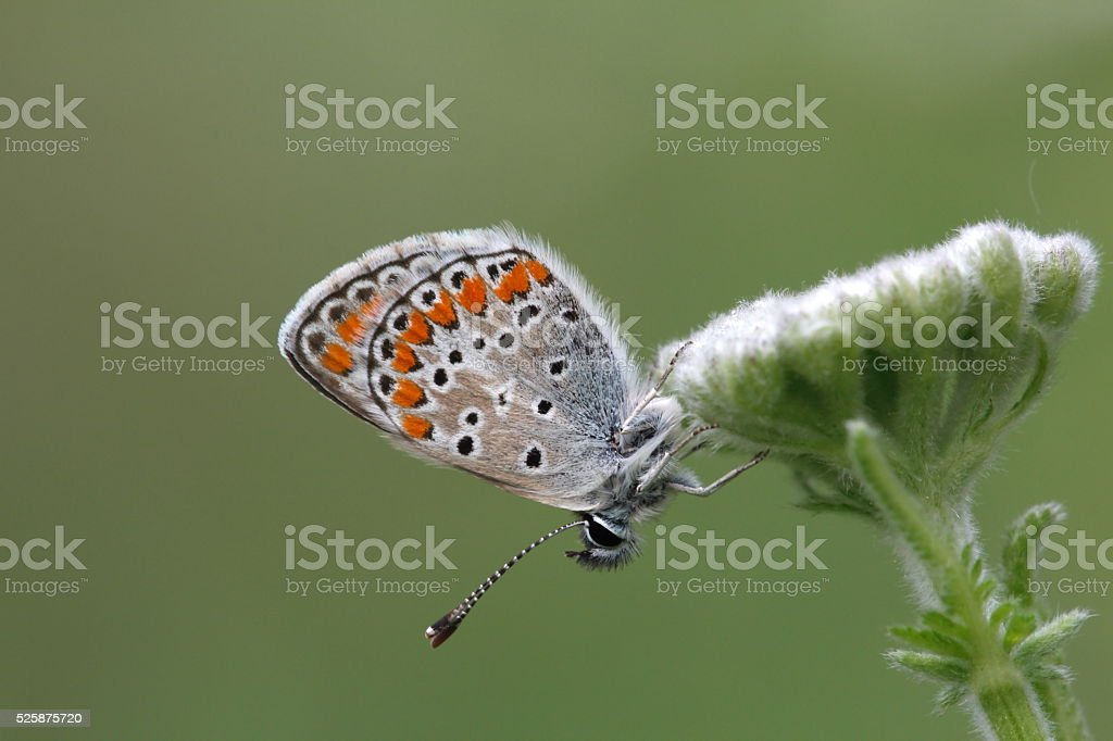 Common Blue butterfly sitting on a white flower stock photo