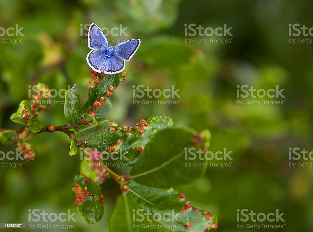 Common Blue Butterfly (Polyommatus icarus) sitting on diseased lingonberry leaf. stock photo