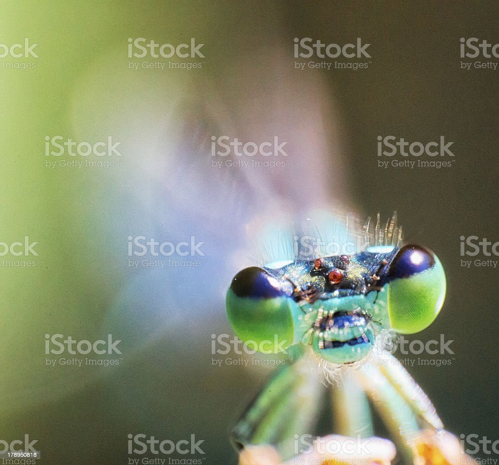 Common blue damselfly [Enallagma cyathigerum] royalty-free stock photo