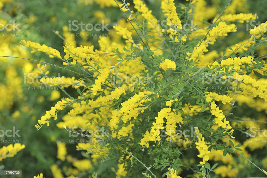 Common Broom stock photo