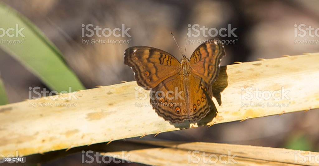 Common Brown Butterfly stock photo