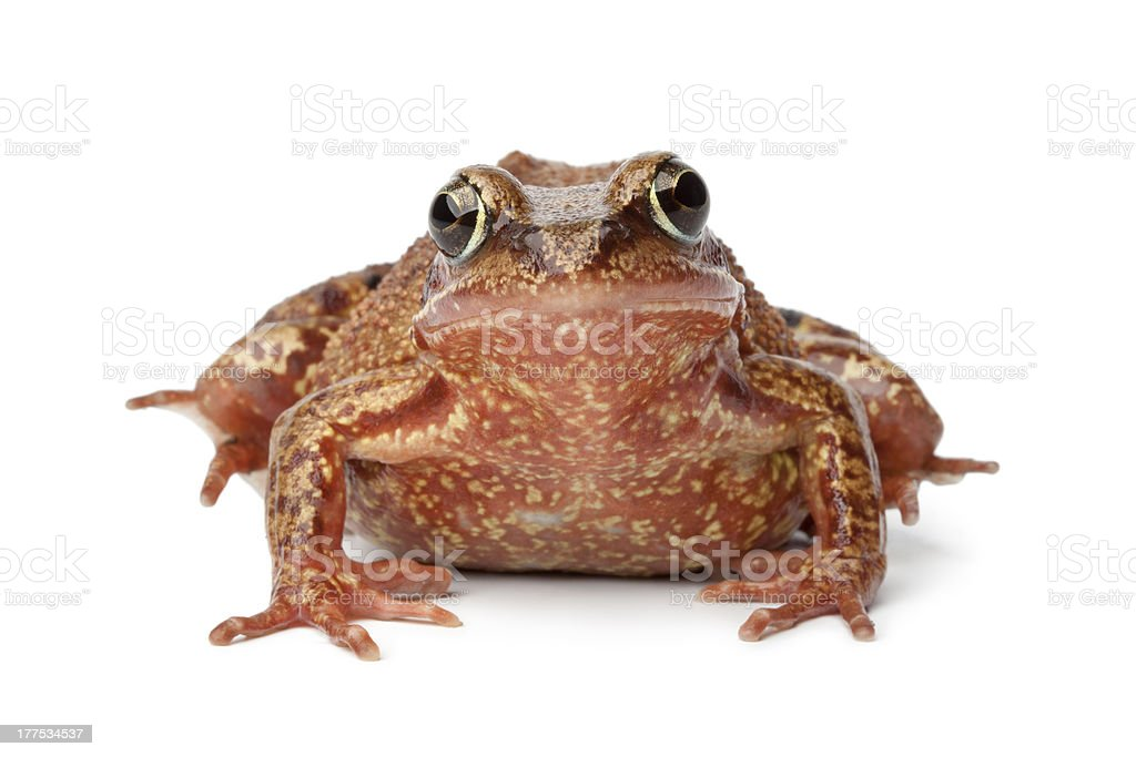 Common brown frog royalty-free stock photo