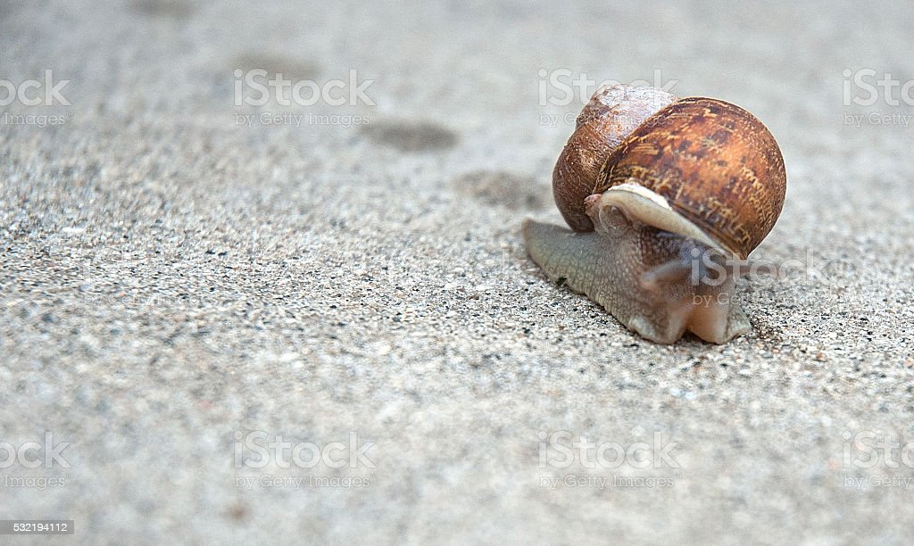 Common Brown Mollusk Garden Snail Macro On Sidewalk stock photo