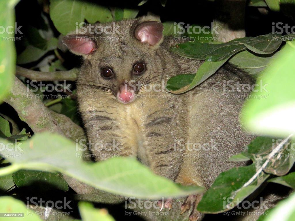 Common brushtail possum stock photo