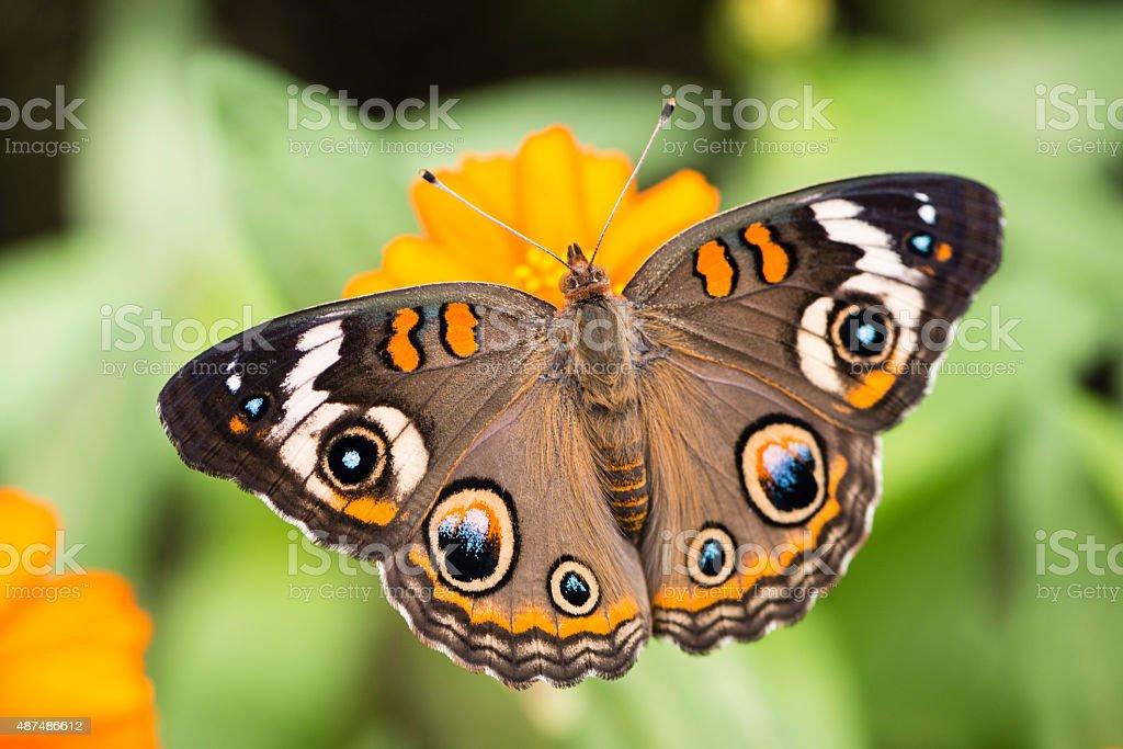 XXXL: Common buckeye butterfly - Junonia coenia stock photo