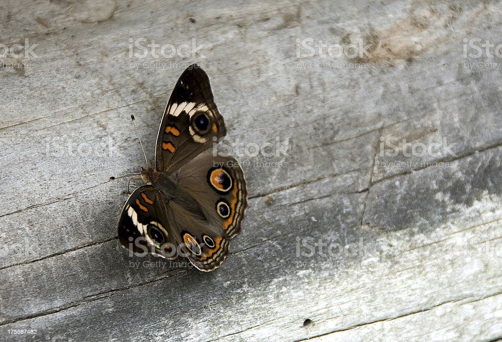 Common Buckeye Butterfly royalty-free stock photo